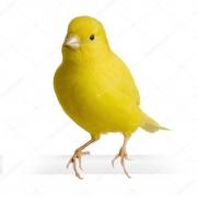 Канарейки и экзотические птицы